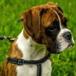 boxer-on-harness